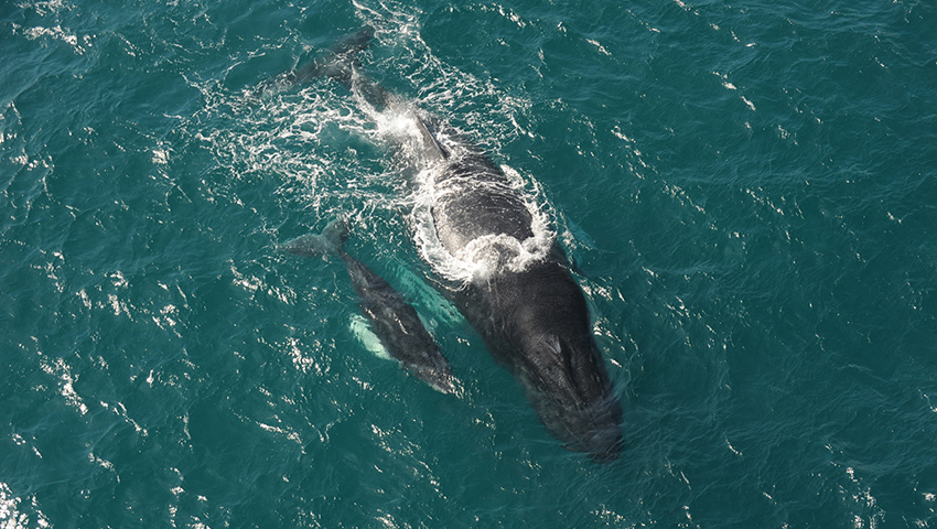 Whales - From January to end March, humpback whales breed in the Bay of Samana. Unique opportunity to see them close by as they frolic in warm seas!