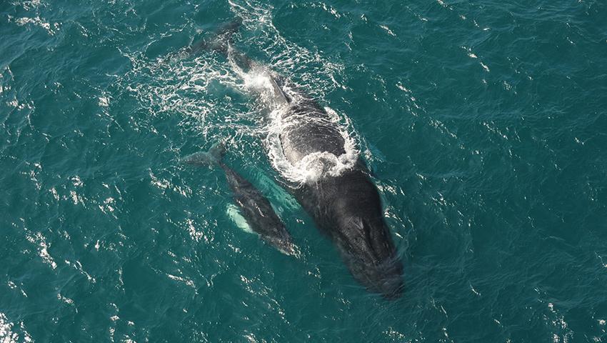 Baleines – de janvier à mars, les baleines à bosses s